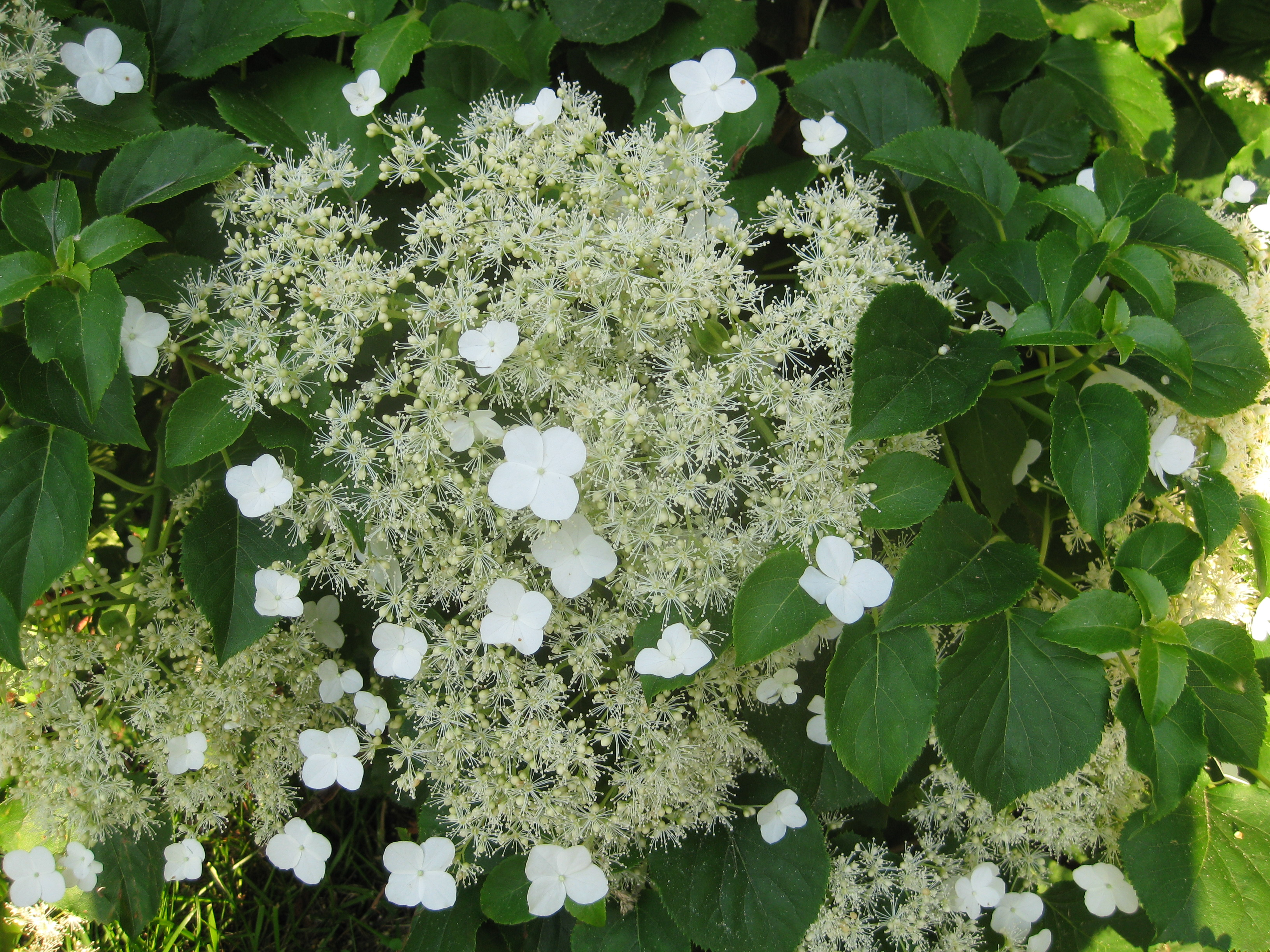 hydrangea petiolaris trellis images. Black Bedroom Furniture Sets. Home Design Ideas
